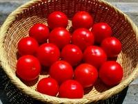 自然農法・自然栽培プレミアム 樹で熟した完熟トマトセット(2㎏)