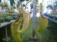 Nepenthes Dyeriana 5""