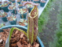 Nepenthes maxima BE-3067 5""