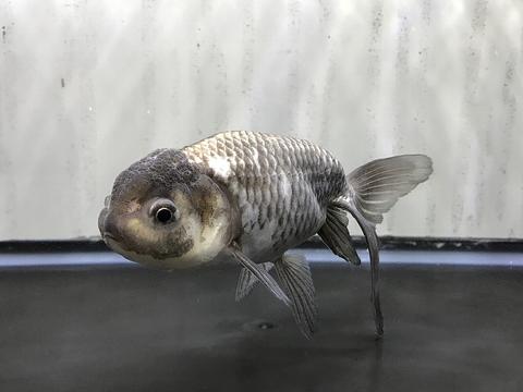 深見養魚場産 羽衣秋錦