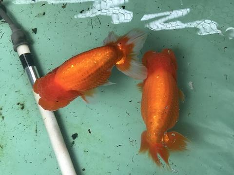 愛知 Y氏系統魚 当歳No.1