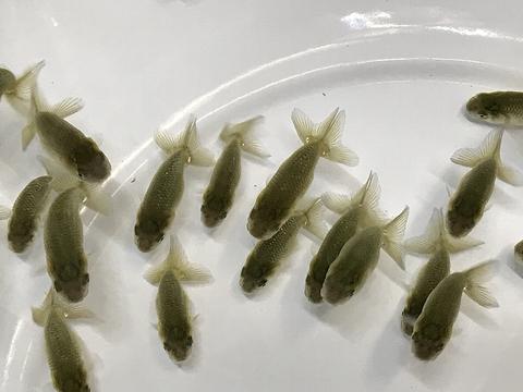愛知 Y氏系統魚 当歳No.2