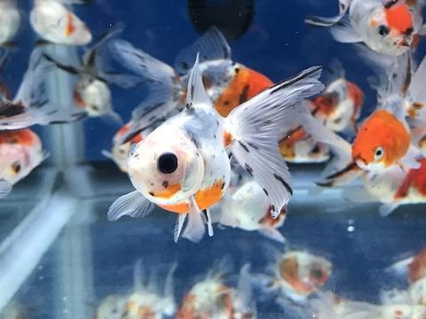 深見養魚場産 キャリコ琉金