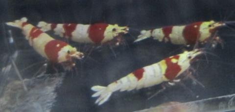 レッドビージャンボ血統18ミリから20ミリペア