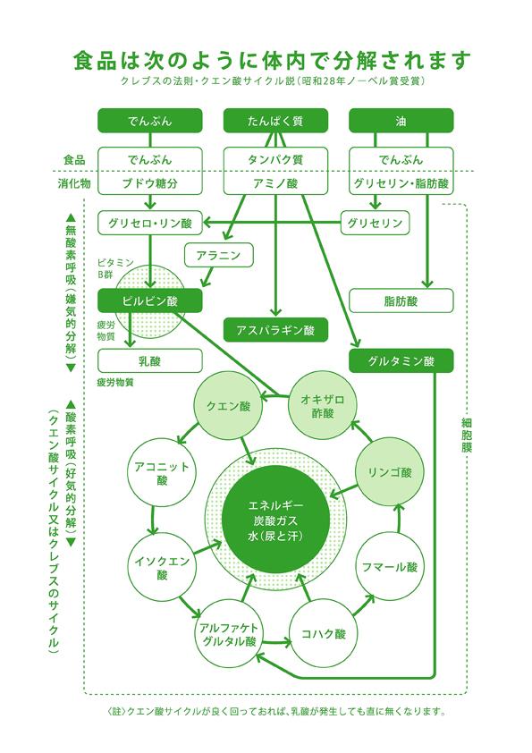 クレブスの法則・クエン酸サイクル説