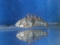 ブダイ 幼魚