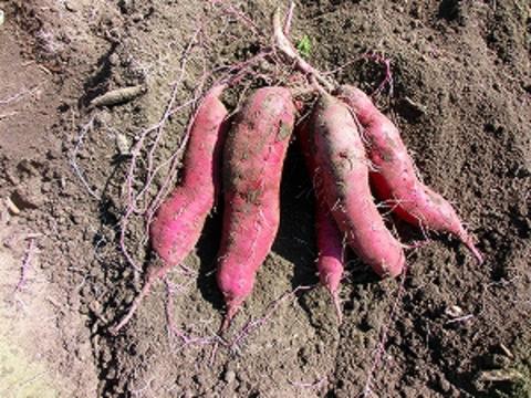自然栽培・自然農法 サツマイモ 500g