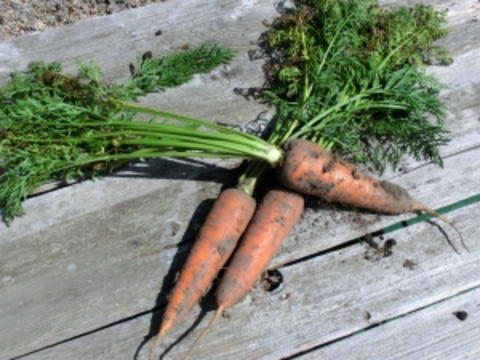 自然栽培・自然農法 ニンジン 1㎏