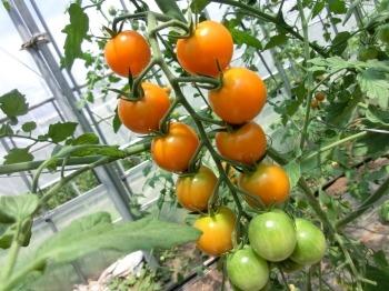 自然農法ミニトマト