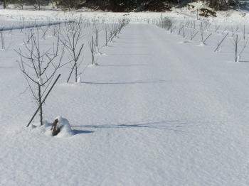 冬のリンゴ苗
