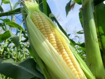 自然農法スイートコーン