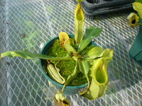 Nepenthes veitchii low-land 5""