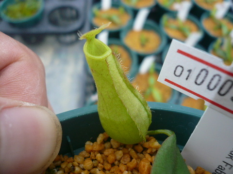 Nepenthes glacillis