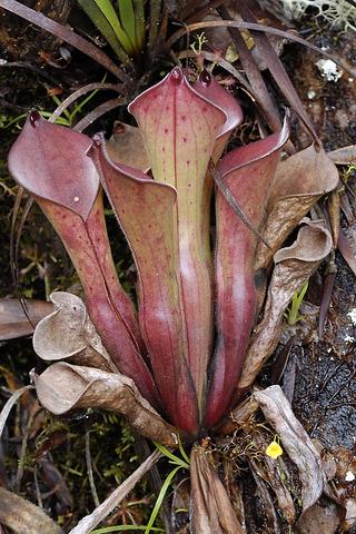 H.exppendiculata(Amuri Tepui)