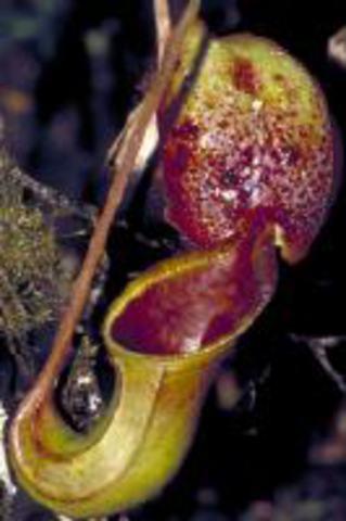Nepenthes ephippiata(Gun.Rajah, Borneo)