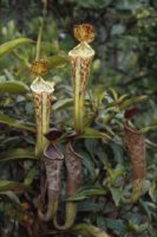 N.fllax(Bareo, Borneo)