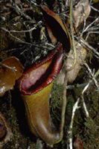 Nepenthes xTrusmadineisis(G.Trusmadi, Borneo)