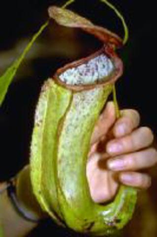 N.neoguineensis(Angkasa, Irian jaya)