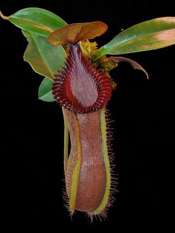 N.hamata x edwardsiana