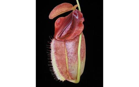 N.spathulata x tenuis Sサイズ