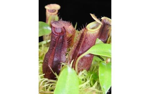 N.(vetichii x lowii) x (burbidgeae x edwardsiana)