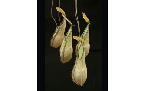 N.tentaculata