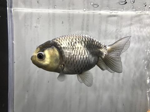 深見養魚場産 羽衣らんちゅう
