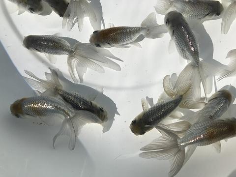 深見養魚場産 青秋錦
