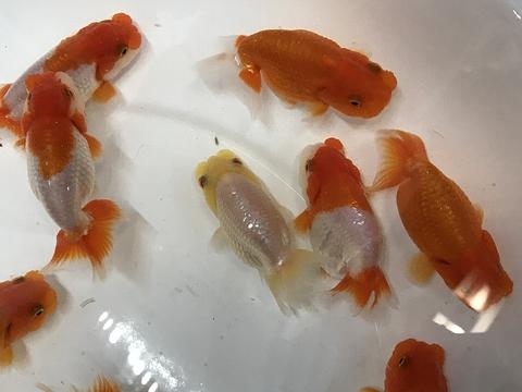 深見養魚場産 弐歳 らんちゅう