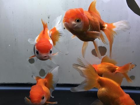 弥富 安井養魚場産 オランダ獅子頭