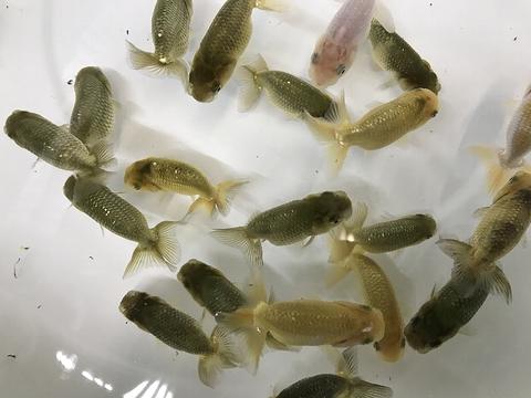 愛知 Y氏系統魚 当歳No.3