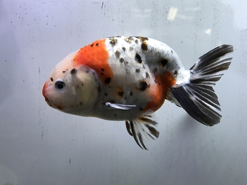 深見養魚場産 江戸錦